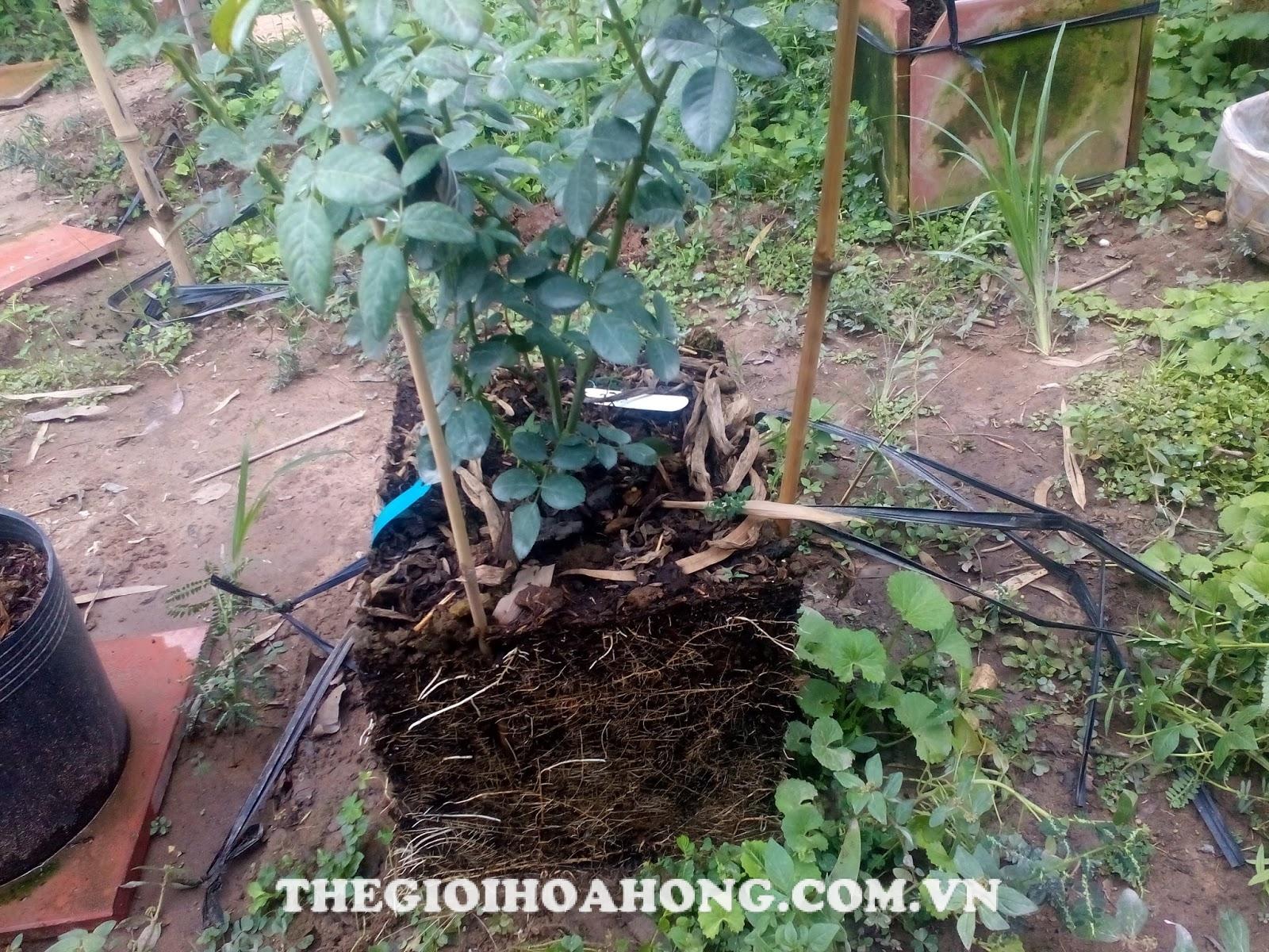 Thay đất cho cây hoa hồng trồng chậu đúng cách (3)