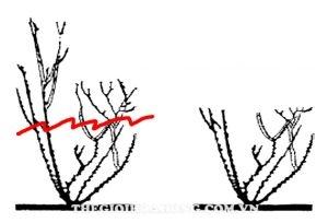 Thay đất cho cây hoa hồng trồng chậu đúng cách (4)