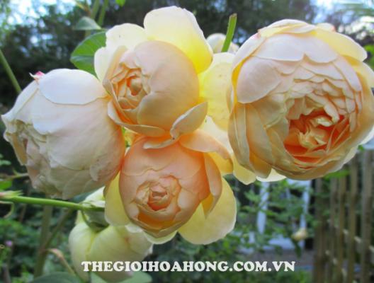 Tìm hiểu về cách trồng hoa hồng dây leo (2)