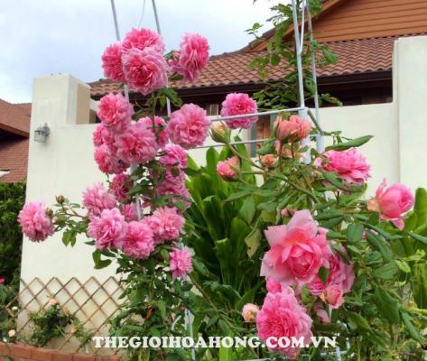 Tìm hiểu về cách trồng hoa hồng dây leo (3)