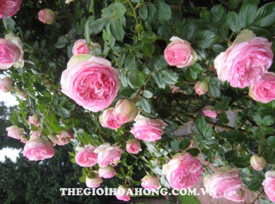 Tìm hiểu về cách trồng hoa hồng dây leo (4)