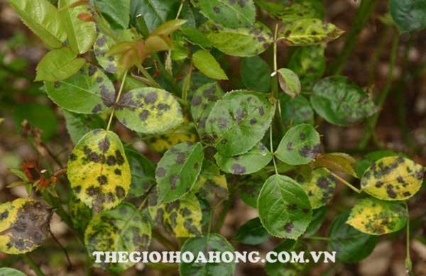 Bệnh đốm đen hoa hồng gây hại trên lá và hoa