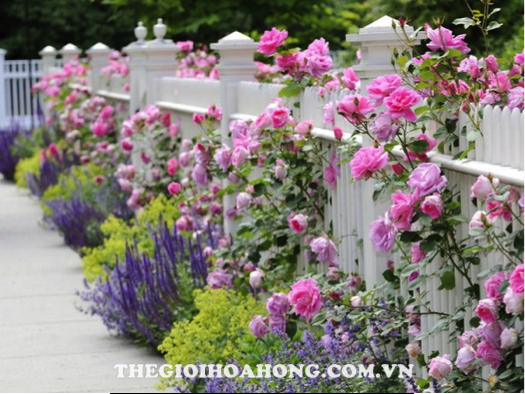 Trồng hoa hồng leo có dễ không? (4)