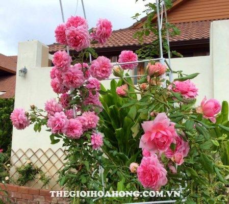 Trồng hoa hồng leo tại Việt Nam, nên hay không? (1)