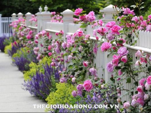 Trồng hoa hồng leo tại Việt Nam, nên hay không? (2)