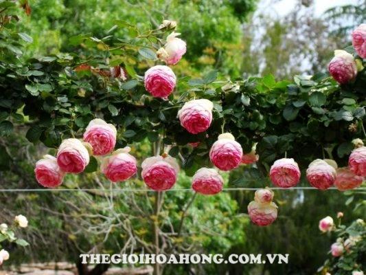 Trồng hoa hồng leo tại Việt Nam, nên hay không? (4)