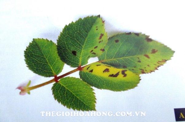 bệnh đốm lá trên cây hoa hồng do vi khuẩn Bacterial Leaf Spot Disease