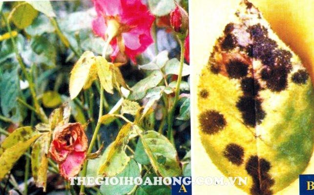 Phòng bệnh đốm lá trên cây hoa hồng do vi khuẩn Bacterial Leaf Spot Disease