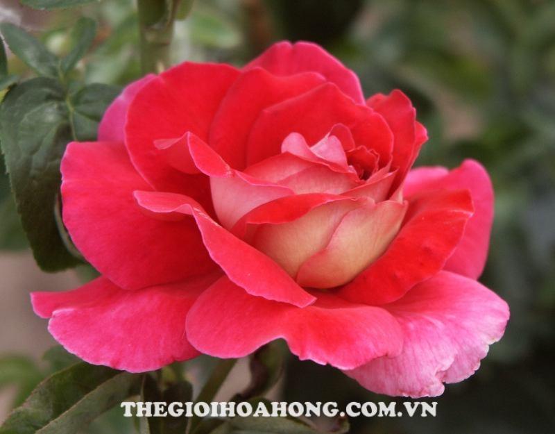 vuon-hoa-hong-tree-rose-flaming-peace