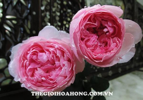 Xem cách chăm sóc Hoa hồng Eckart Witzigmann (1)