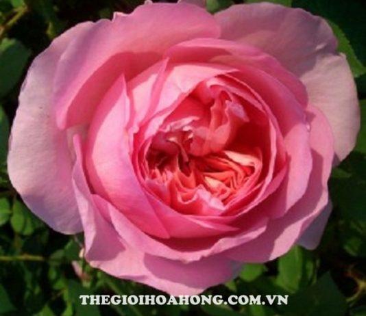 Xem cách chăm sóc Hoa hồng Eckart Witzigmann (2)