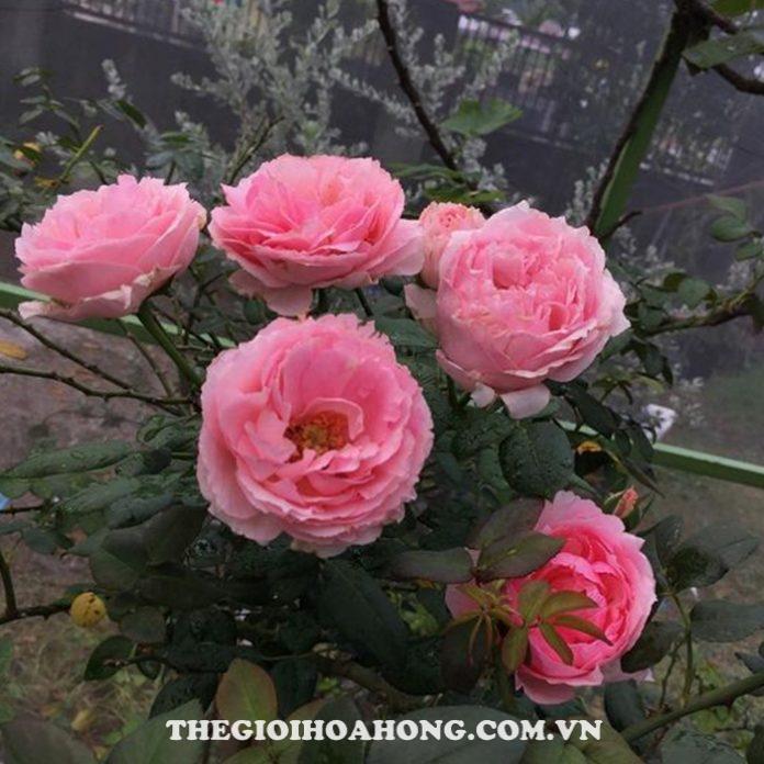 Xem cách chăm sóc Hoa hồng Eckart Witzigmann (3)