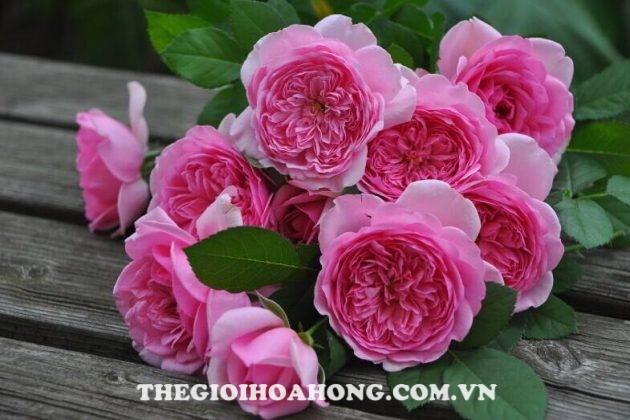 Xem cách chăm sóc Hoa hồng Eckart Witzigmann (4)