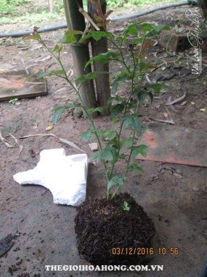 Xem cách tạo giá thể trồng hoa hồng cực hay (3)